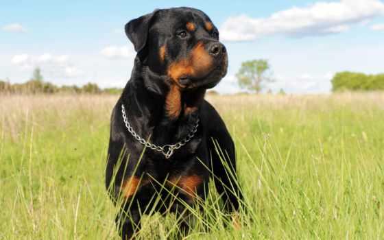 rottweiler, собака, первое, породы, android, ошейник, поиске, best, друг,
