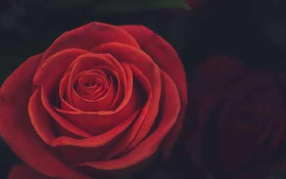роза, телефон, лепестки, mobile, капли, розы, biscuits, browse,
