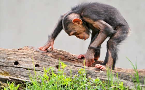 обезьяна, log, трава