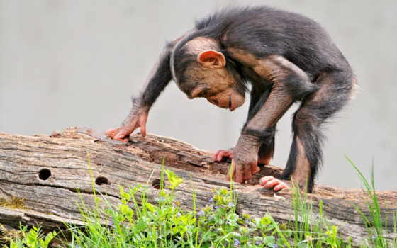 обезьяна, log, трава, шимпанзе, curiosity, обезьяны, browse, морда, кора,