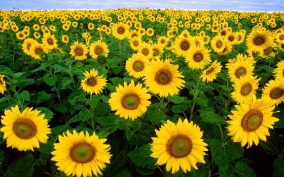 cvety, подсолнух, high, seed, flora, поле