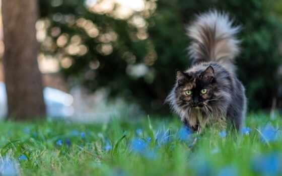 кот, tapety, british, posiadamy, strona, tapet, codziennie, od, длинношерстный, kot