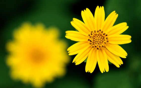 цветок, фокус, желтый, резкость, desktop, free, смотрите, sharp,