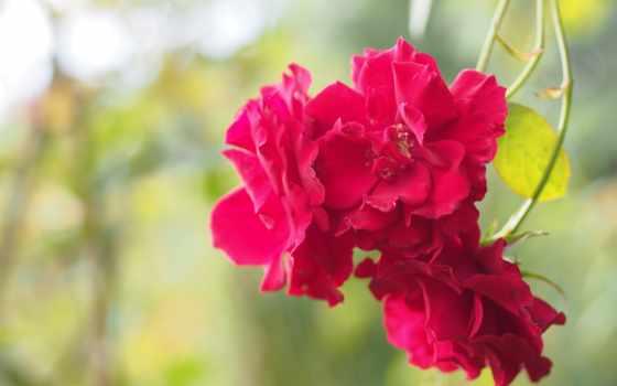 cvety, розы, розовый, color, вас, рассвета, нежного, изображение, яркие, картинка, roses,