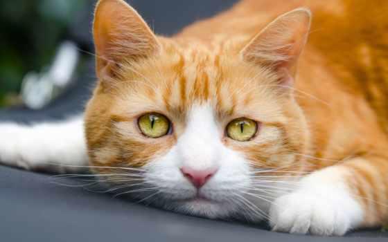разделе, red, кот, кошки, котенок, zhivotnye, голубые, красивые, июл, черепаха,