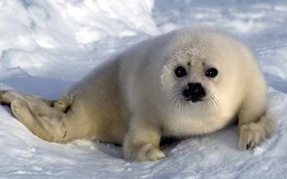 море, тюлень, морские, котики, спит, smartphone, zhivotnye,