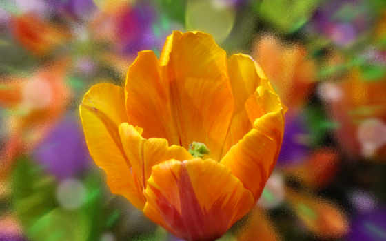 , цветок, тюльпан, оранжевый, flowers, petals, картинка,