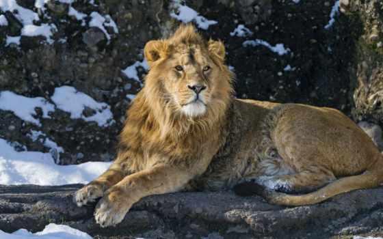 lion, зверей, king, снег, кот, хищник, дикая, кошки, zhivotnye, львы, большие,