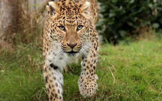 леопард, african, кот, animal, животные, фон, wild, смотреть, see