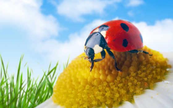 коровка, божья, ромашке, ladybug, camomile, download, desktop,