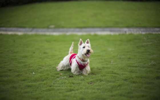 dog, 玫瑰花瓣上的露珠, трава
