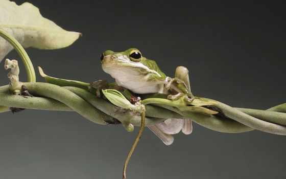 лягушка, дерево, широкоформатные, стандартные, red, eyed, toad,