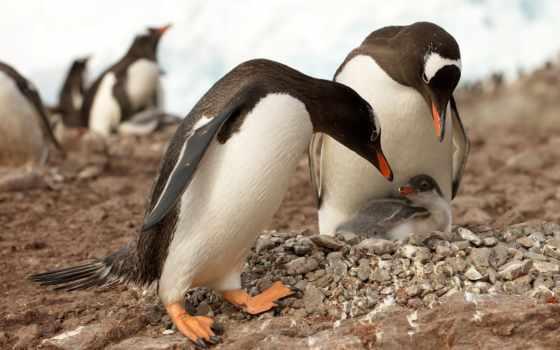 пингвин, пингвины, nkarner, шат,