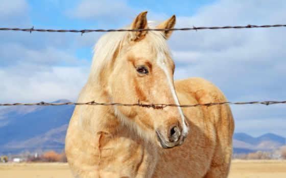 horses, лошадь, провод, сзади, работать, barbed, цена, забор, золотистый,