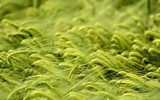 взгляд, sun, макро, поле, зелёная, planet, зеленое, колоски, пшеница, колосья,