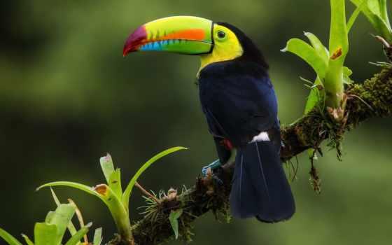 toucan, птица, jungle