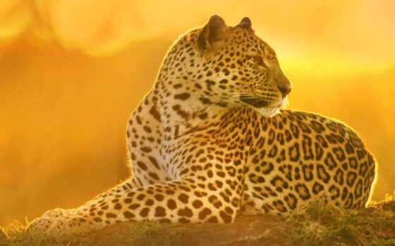 леопард, хищник