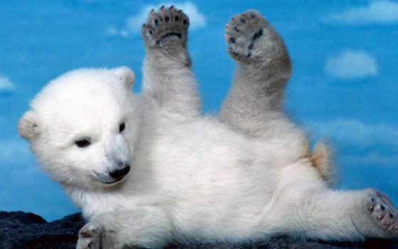 медведь, baby, ratio