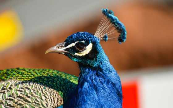 crest, клюв, peacock