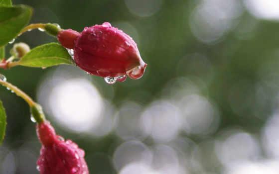 макро, фуксия, капли, цветы,