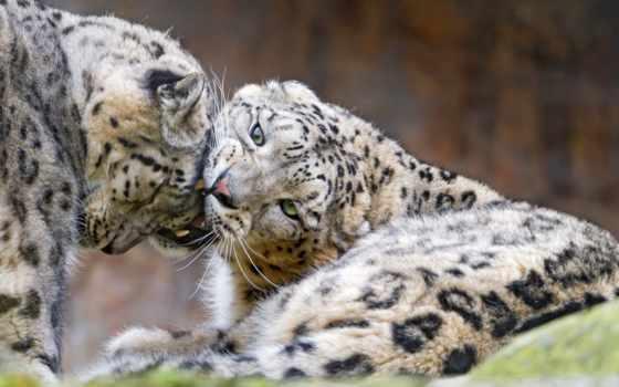снег, леопард, leopards, их, tambako, jaguar, cats,