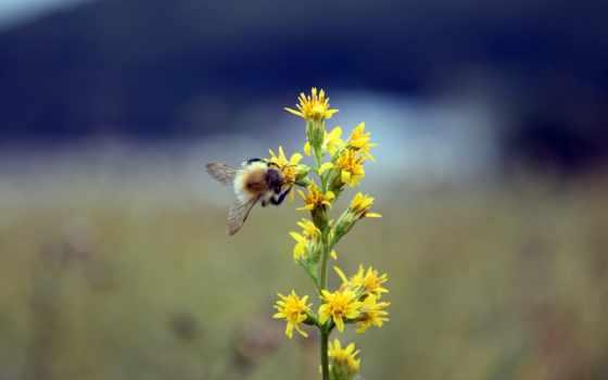 bumblebee, пчелка, desktop