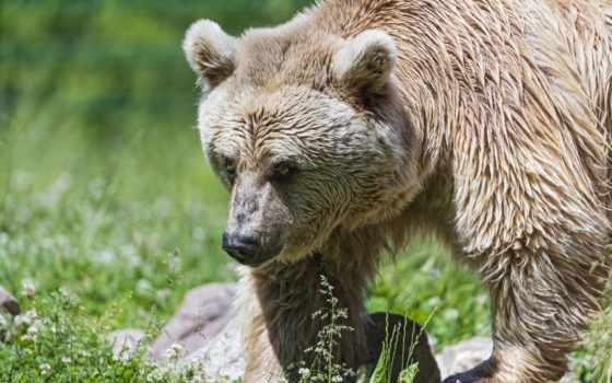 медведи, страница, медведь, desktop, medve, бурые, мишка, zoom, зверопозитив,
