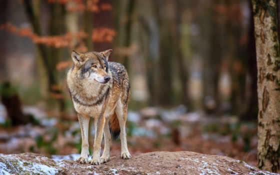 волк, лес, нравится, природа, winter,