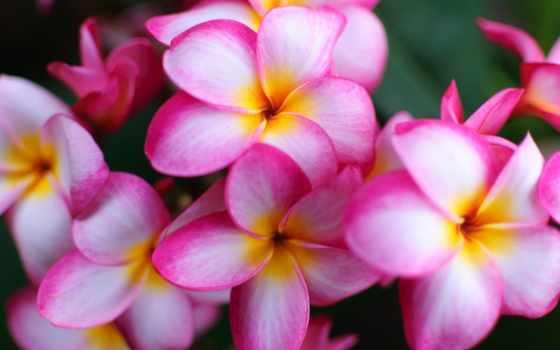 коллекция, цветы, plumerie, exotic, cvety, deynega, white, see, анна, яndex, islanders