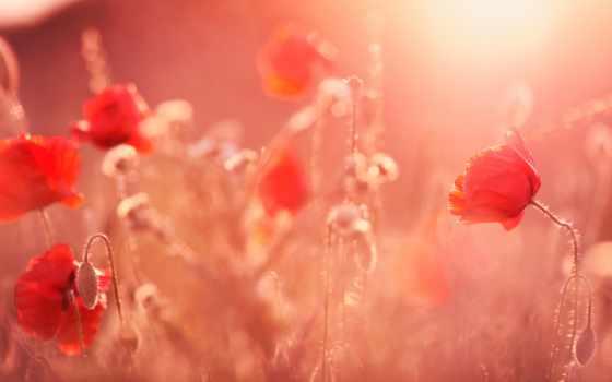 cvety, свет, poppy, sun, summer, поле, red, free, ray, растение