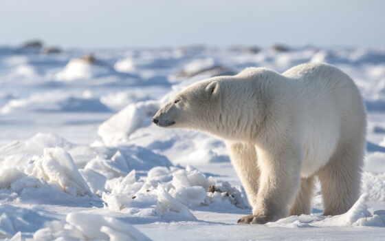 медведь, polar, два, white, wild