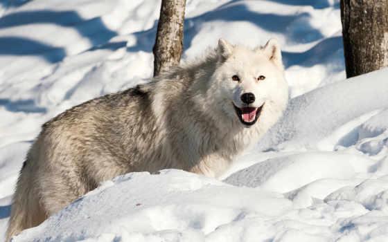 волк, winter