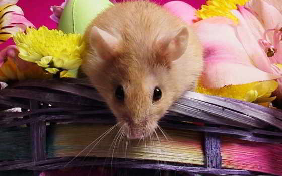 mouse, мышей, eng, заставки, apodemus, фотографий, desktop, zhivotnye,