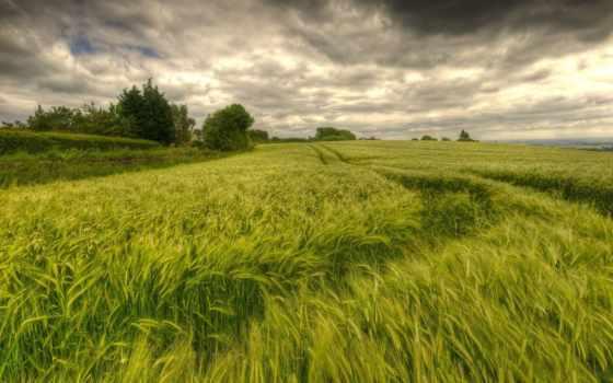 corn, поле, зелене, природа, колоски, зеленеє, pole, небо, obilné, зеленое,