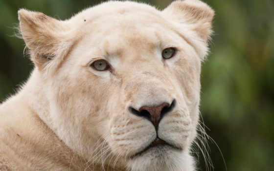 взгляд, lions, desktop, animals, photos, free, white, морда,