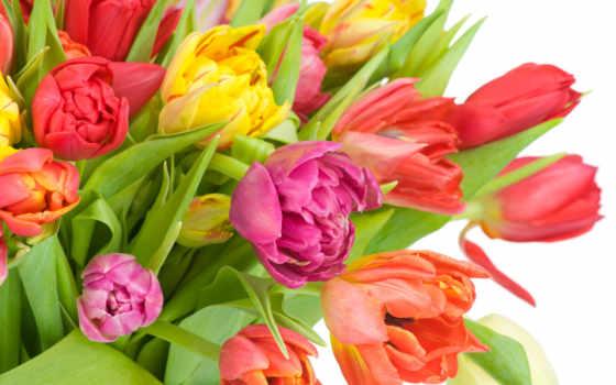 цветы, разноцветные, тюльпаны