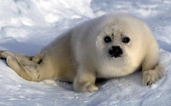 тюлень, белек, тюлени