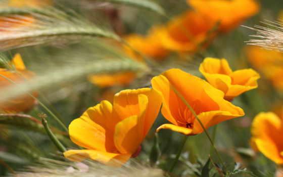 цветы, летние, оранжевые