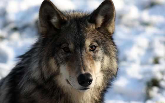 волки, хищник, волк, portrait, мех, морда, волков, null, zhivotnye, fantasy, ученые,