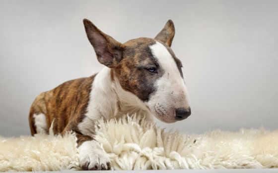 собак, собаки, бультерьер, bite, собака, treatment, укусов, очень, породы,