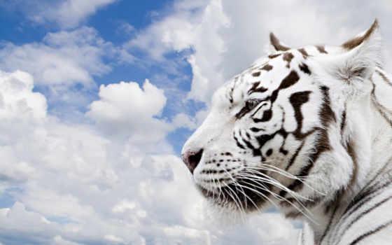 небо, fone, white, совершенно, profile, тигр, wpapers, oblaka,