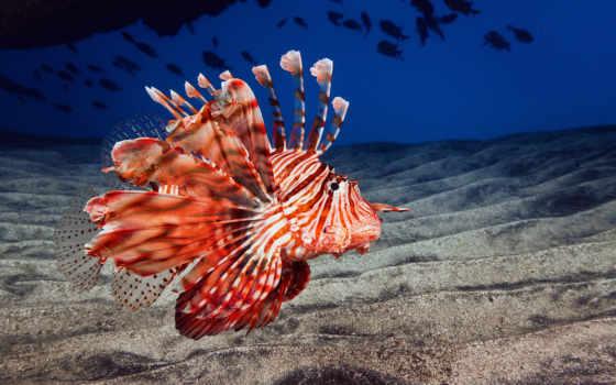 fish, крылатка, море