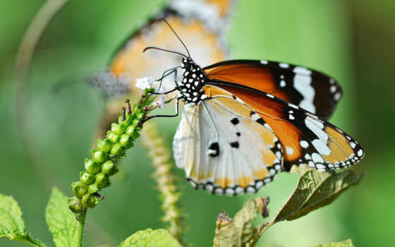 бабочка, lwp, pictures, макро, бабочки, white, live, animals,