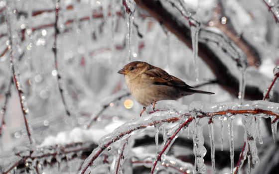 сосульки, winter, лед, иней, ветки, воробей, макро,