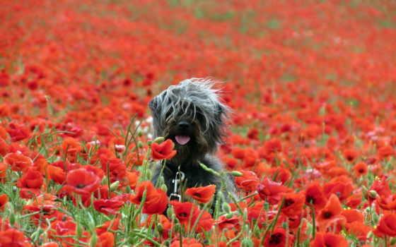 маки, cvety, поле, природа, zhivotnye, собака, stern, животных,