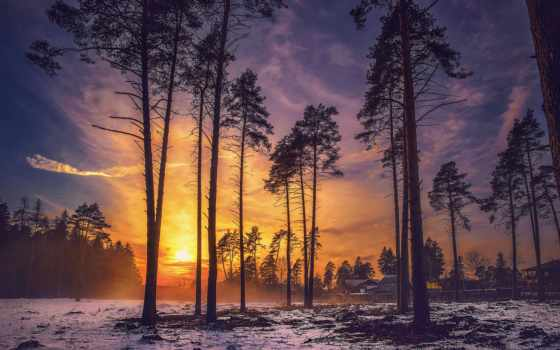 pine, pitch