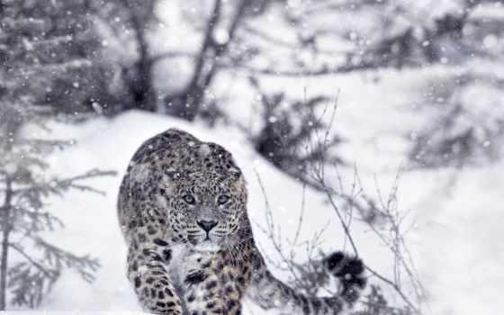 леопард, снег, animal, winter, кот, white, black, хищник, wild