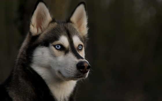 хаски, собака, глаза, взгляд,