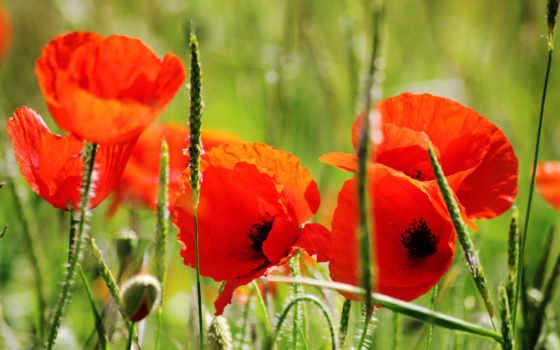 маки, цветы, лепестки Фон № 56418 разрешение 2560x1600