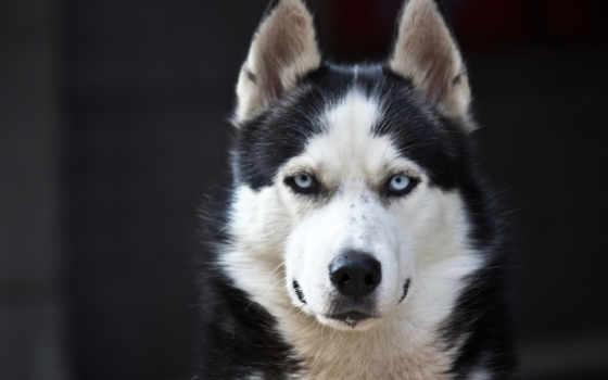 хаски, собака, black